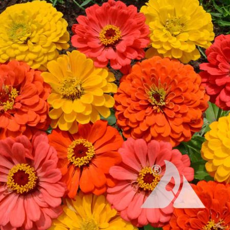 Fruity Beauty Zinnia Mix