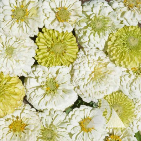 Key Lime Pie Zinnia Mix