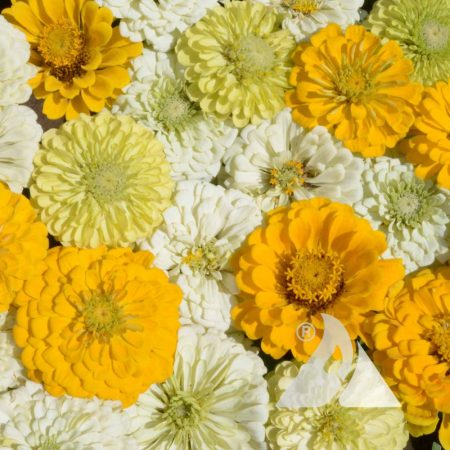 Zinnia Mix Lemon Merengue