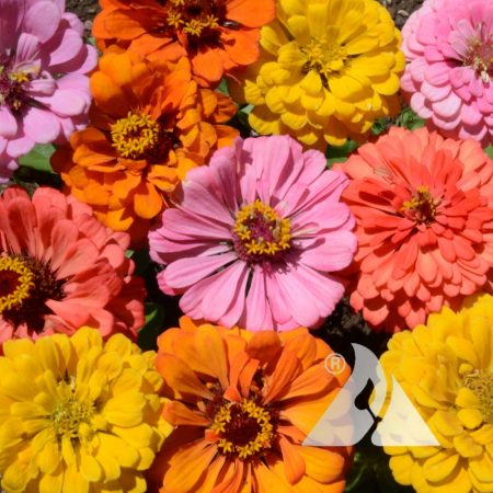Peach Cobbler Zinnia Mix
