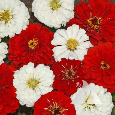 Stop Sign Zinnia Mix