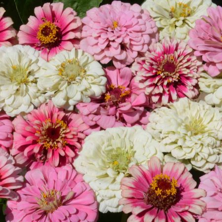 Specialty Zinnia Mixes