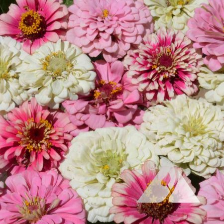 Strawberry Parfait Zinnia Mix