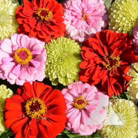 Strawberry Rhubarb Pie Zinnia Mix