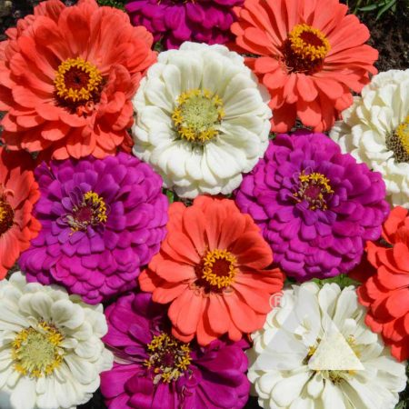 Under the Sea Zinnia Mix